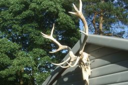 Pictures of red deer antlers on summerhouse